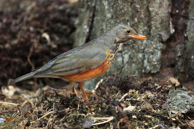 Rufous-bellied thrush. The rufous bellied thrush sitting ahead of the tree stock images