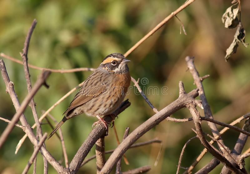 Rufous-breasted accentor stock photos