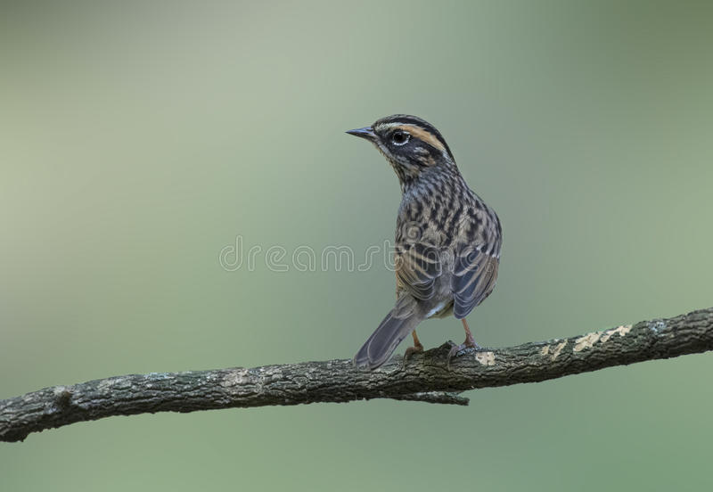 Rufous breasted accentor royalty free stock photos