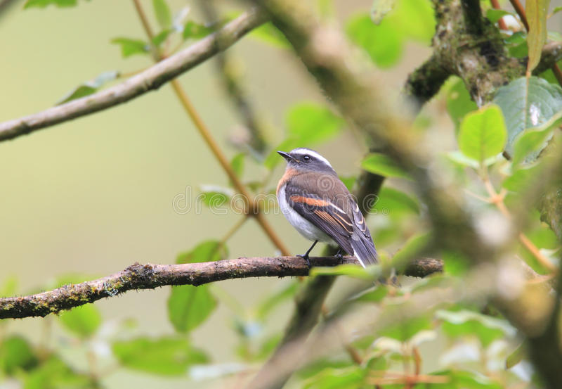 Rufous-breasted Chat-Tyrant royalty free stock photos