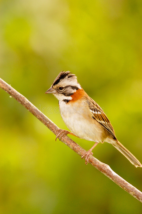 Download Rufous-collared Sparrow stock image. Image of close, green - 5248607