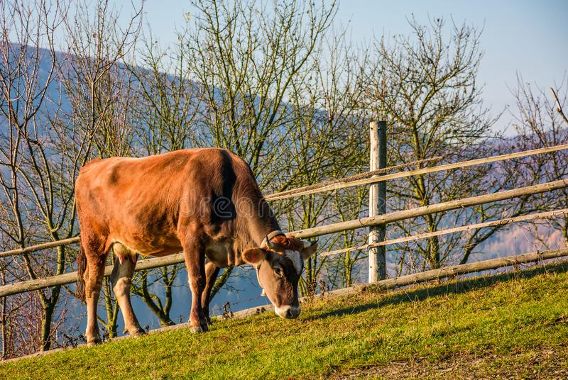 Rufous cow grazing near the fence on hillside stock images