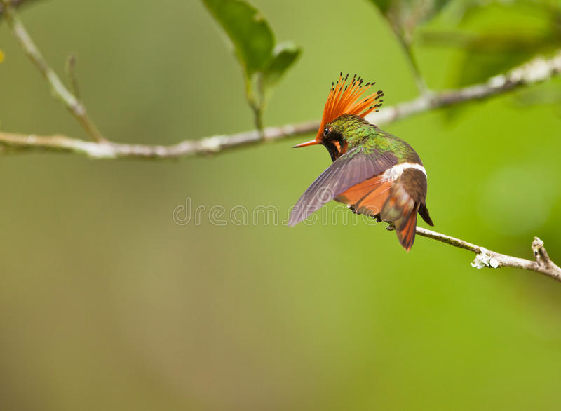 The Rufous-crested Coquette royalty free stock photography