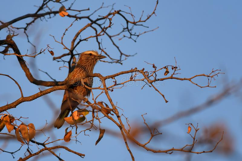 Rufous-crowned Roller - Coracias naevius. Beautiful rare roller from African bushes and forests, Namibia stock photos
