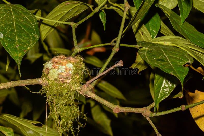 Rufous-de steel verwijderde van Kolibrie stock fotografie