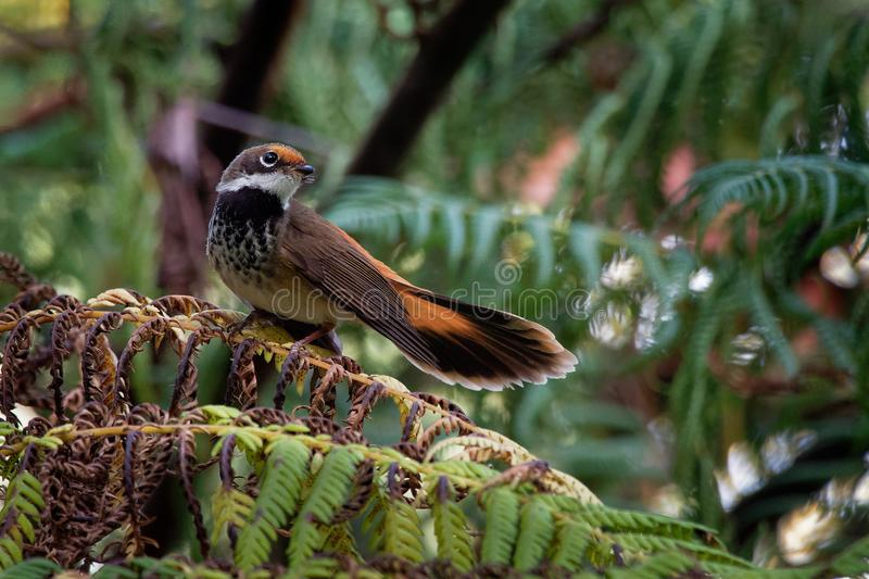 Rufous Fantail - Rhipidura rufifrons, small Passerine bird, most commonly known also as the black-breasted rufous-fantail or rufou royalty free stock photos