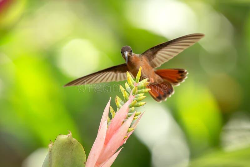 Rufous-gången mot ensling som i flykten svävar bredvid den rosa och gula blomman, fågel, caribean tropisk skog, Trinidad och Toba arkivfoto