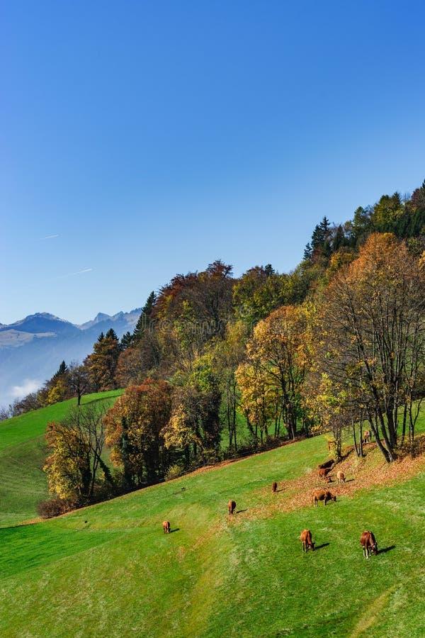 Rufous gelb-rote Kühe Browns auf Weide des grünen Grases, sonniger Herbst lizenzfreie stockfotos