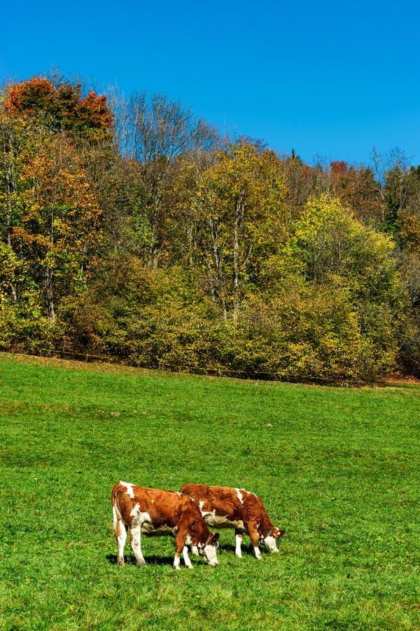 Rufous gelb-rote Kühe Browns auf Weide des grünen Grases, sonniger Herbst lizenzfreies stockfoto
