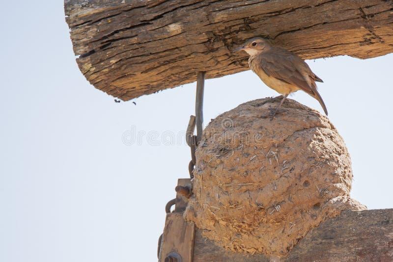 Rufous Hornero (Ovenbird) anseende på lera-/gyttjarede royaltyfri foto