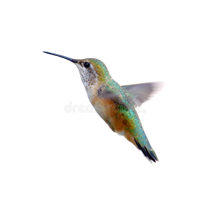 Download Rufous Hummingbird stock image. Image of close, female - 26408489