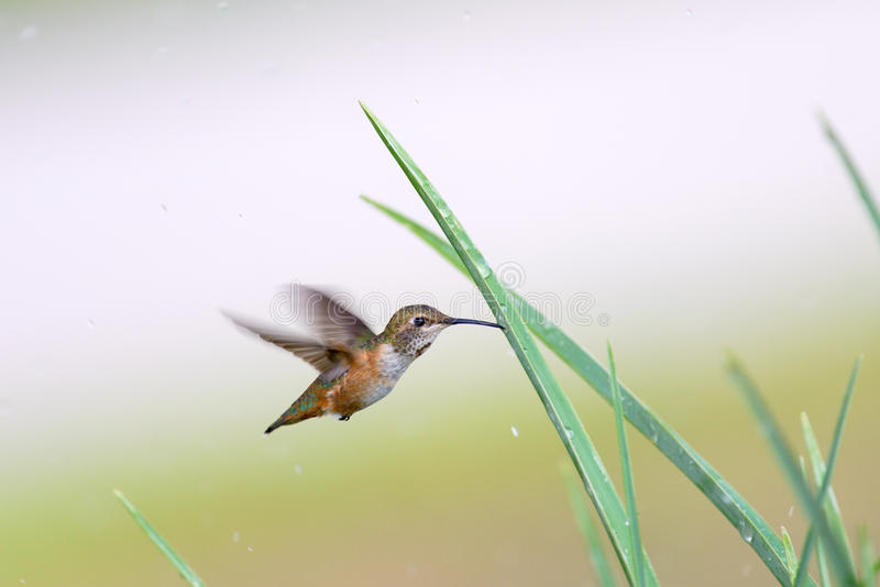 Download Rufous Hummingbird stock image. Image of bird, small - 26408519