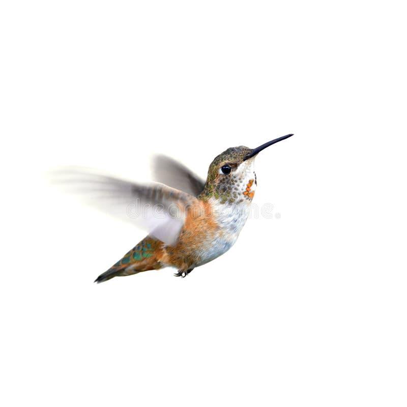 Download Rufous Hummingbird stock photo. Image of feather, bird - 26408528