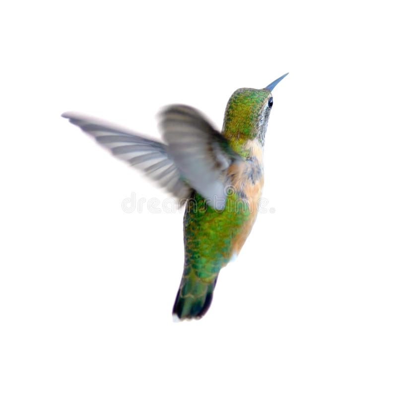 Rufous Hummingbird arkivfoto