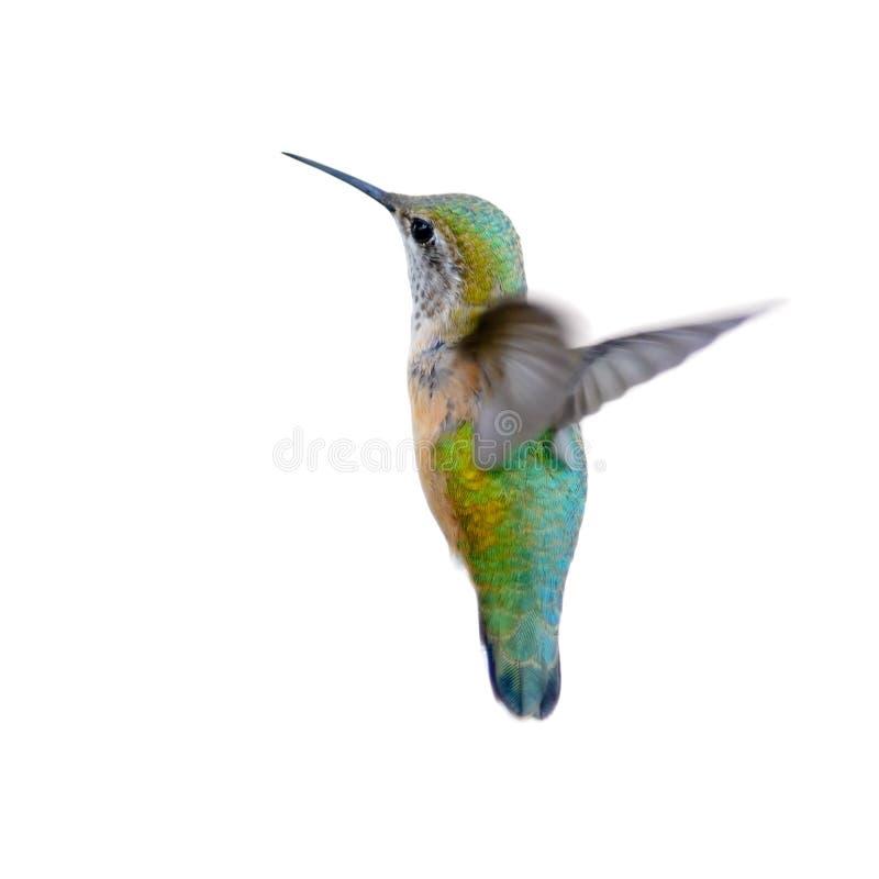 Rufous Hummingbird royaltyfri foto