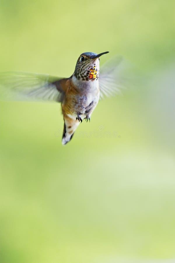 rufous hummingbird arkivbilder