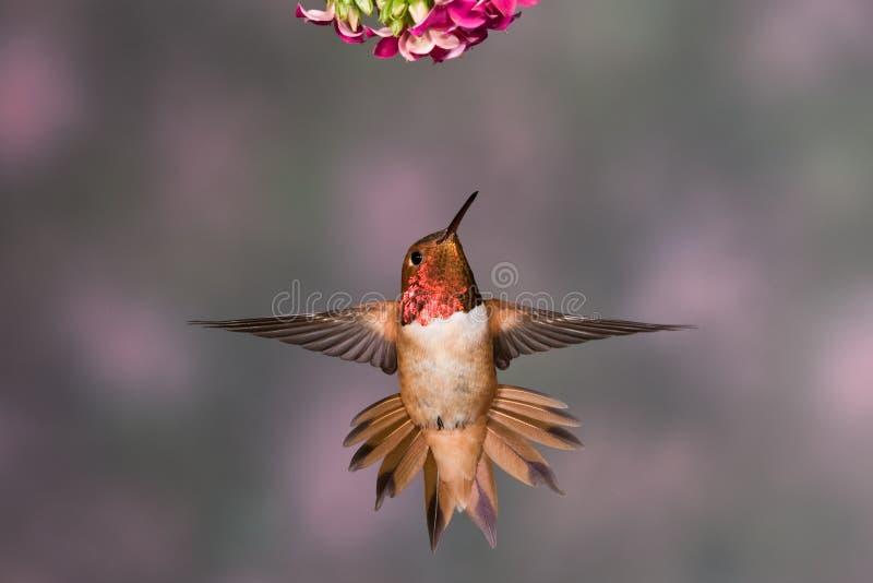 rufous hummingbird royaltyfri fotografi