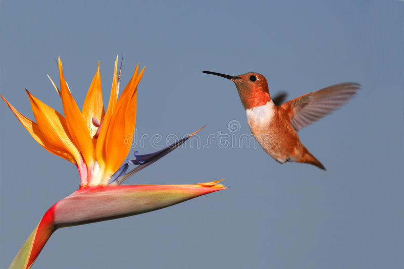 Rufous Hummingbird and Bird of Paradise. A male Rufous Hummingbird with gorget flashing, hovers near a Bird of Paradise blossom royalty free stock photography