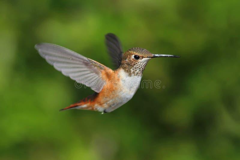 Rufous Hummingbird (den Selasphorus Rufusen) Arkivfoton