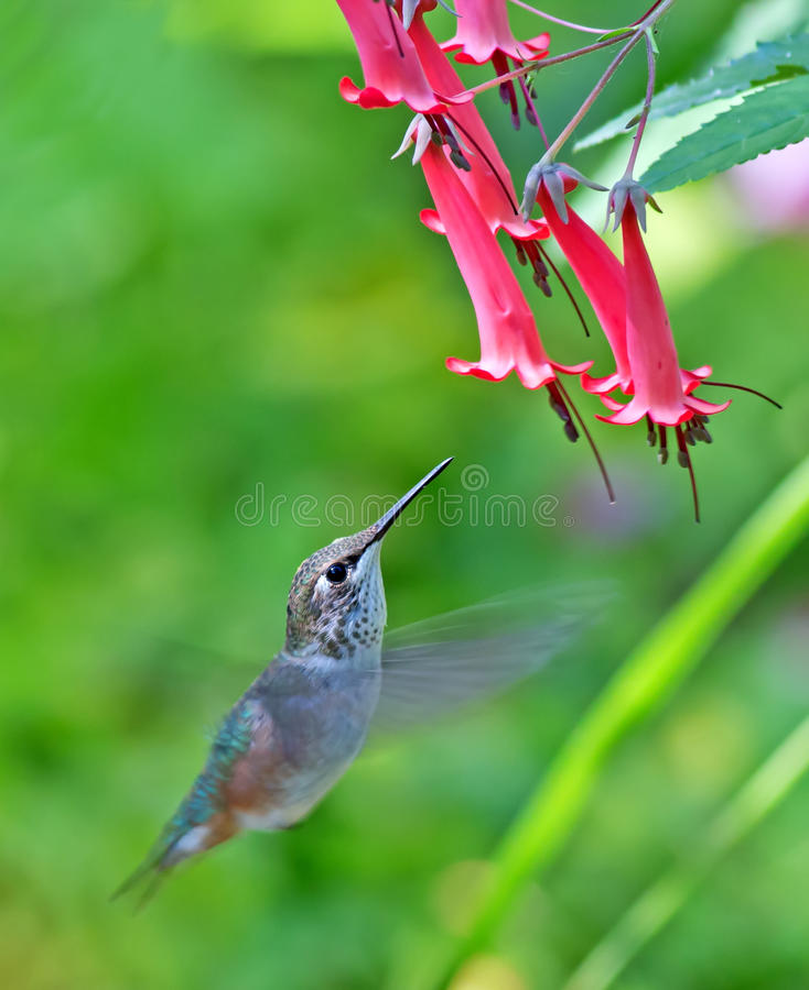 Download Rufous Hummingbird - Female Stock Photo - Image of hummingbird, wildlife: 39898026