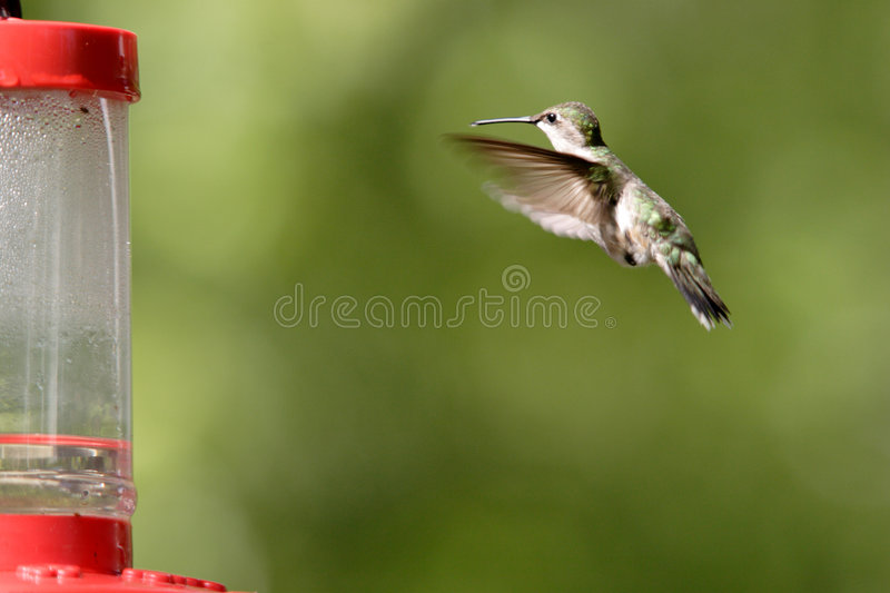 Download A Rufous Hummingbird Hovers Toward The Feeder. Stock Image - Image: 5559761