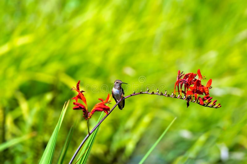 Rufous Hummingbird Perched on Flower Stalk one summer day. Young Rufous Hummingbird perched on flower stalk of Crocosmia plant in summer with green bokeh royalty free stock image