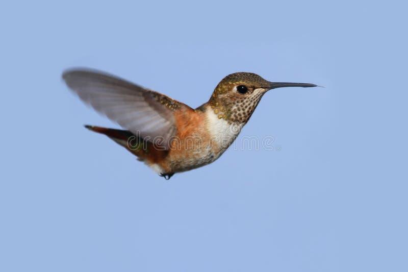 Download Rufous Hummingbird (Selasphorus Rufus) Stock Photo - Image of hummingbirds, wildlife: 29388720