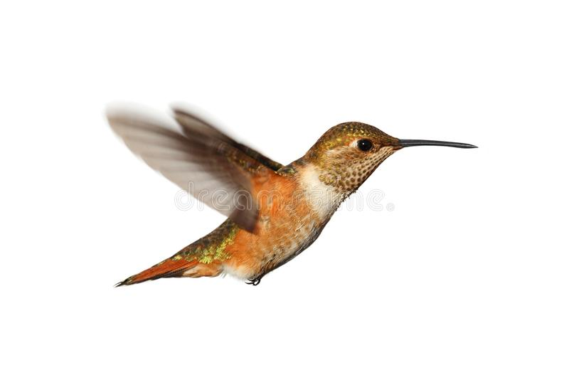 Rufous Hummingbird (Selasphorus rufus). In flight isoloated on a white background stock photos