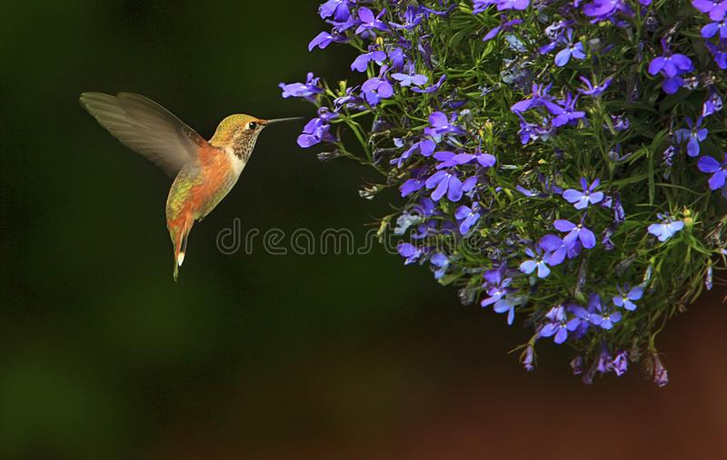 Rufous Hummingbird Selasphorus rufus Feeding. A Rufous Hummingbird Selasphorus rufus hovering about to feed from from lobelia flowers with dark background royalty free stock photography