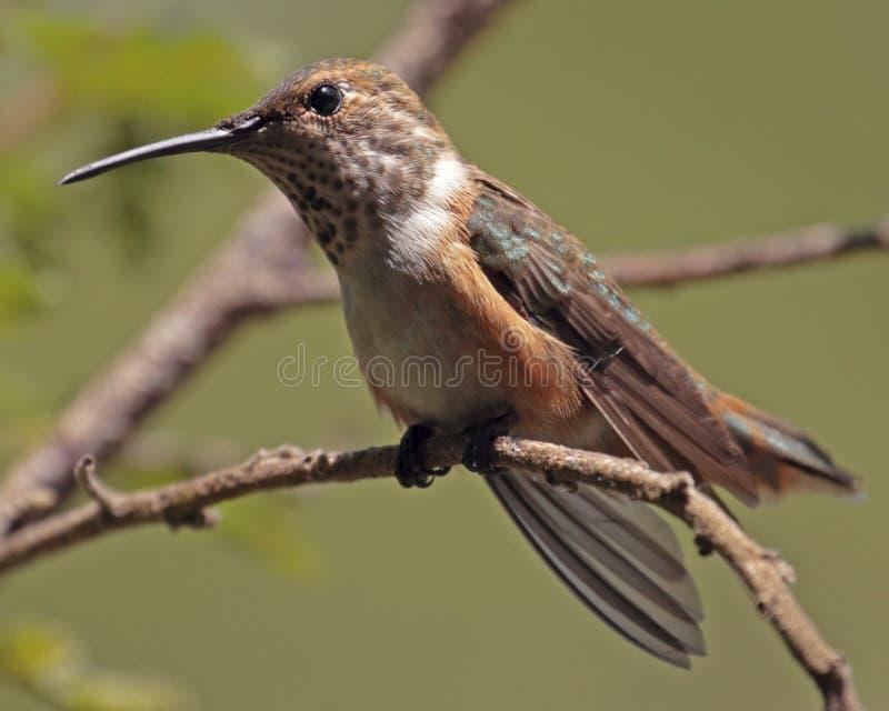 Rufous Hummmingbird stockbild