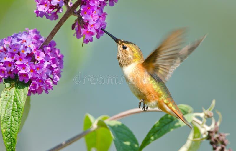 Rufous kolibri som matar på den fjärilsBush blomman royaltyfria bilder