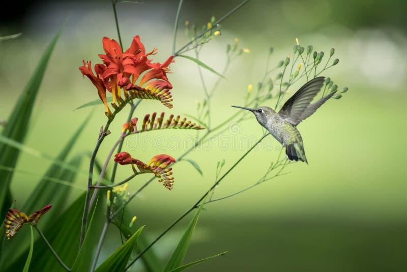 Rufous Kolibri- und Crocosmia-Blumen lizenzfreie stockbilder