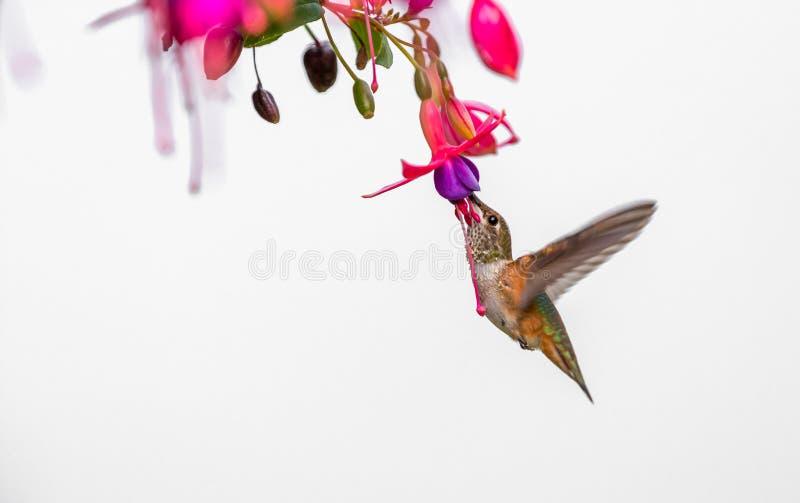 Rufous kolibrie` Selasphorus rufus ` stock afbeeldingen