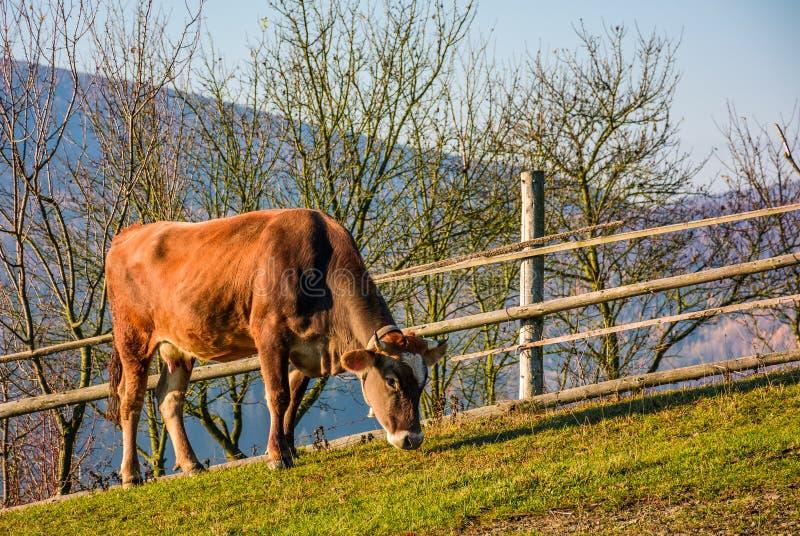 Rufous Kuh, die nahe dem Zaun auf Abhang weiden lässt stockbilder
