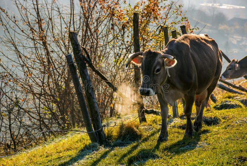 Rufous Kuh nahe dem Zaun auf Abhang stockbild