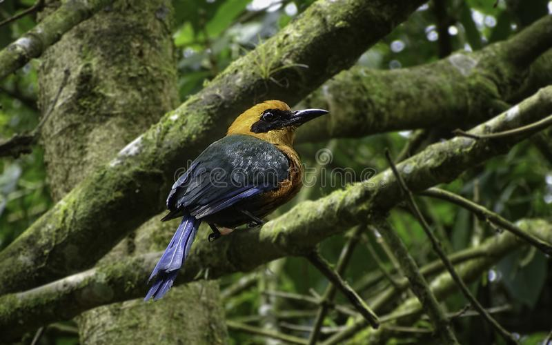 Rufous motmot posing on a tree branch. Blue, black, Orange and green colored. royalty free stock photo
