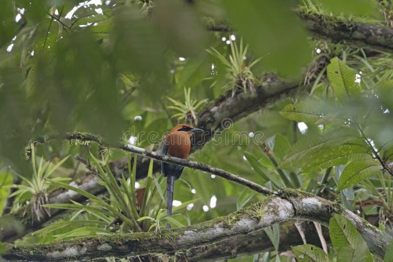 Rufous Motmot in a Rain forest tree stock photo