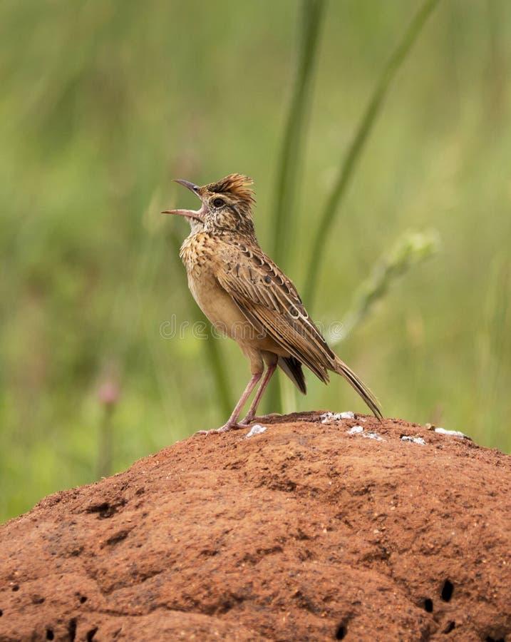 Rufous naped Lerche, die von einem Termitenberg nennt lizenzfreies stockfoto