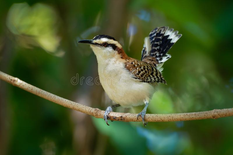 Rufous-naped Wren - Campylorhynchus rufinucha songbird of the family Troglodytidae. Resident breeding species from central-southwest Mexico to northwestern stock images