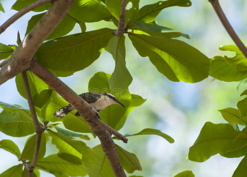 Rufous-naped Wren. Sits on a branch in an almond tree stock photography