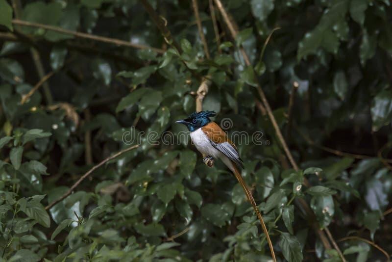 Rufous paradisi vliegenvanger of Terpsiphone van het morph Indische paradijs royalty-vrije stock fotografie