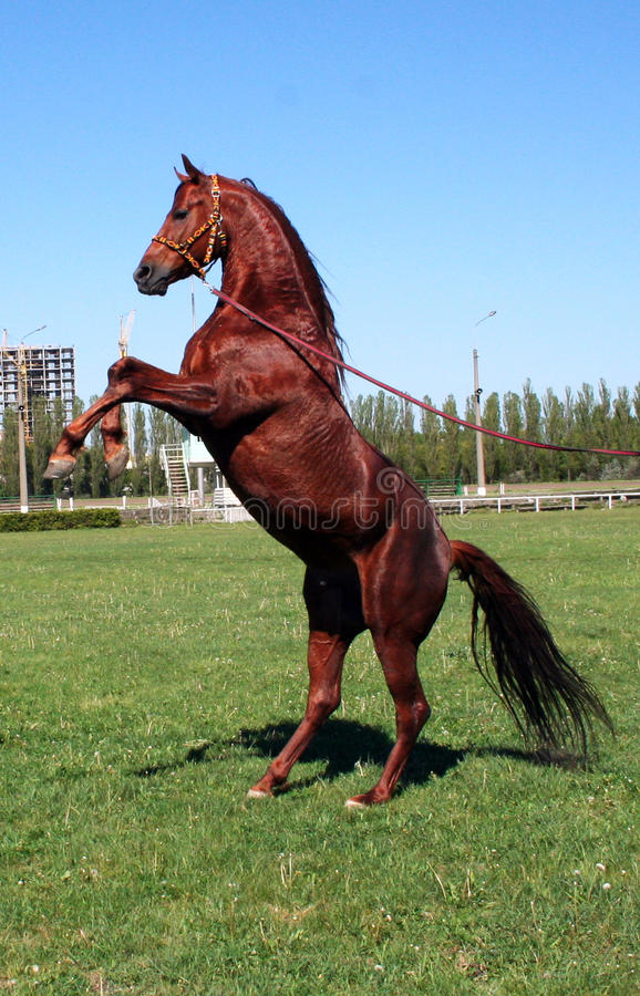 Rufous stallion royalty free stock images