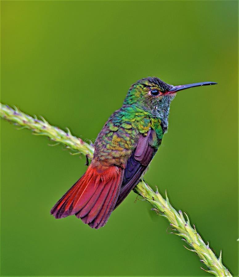 Rufous Tailed Hummingbird arkivfoto