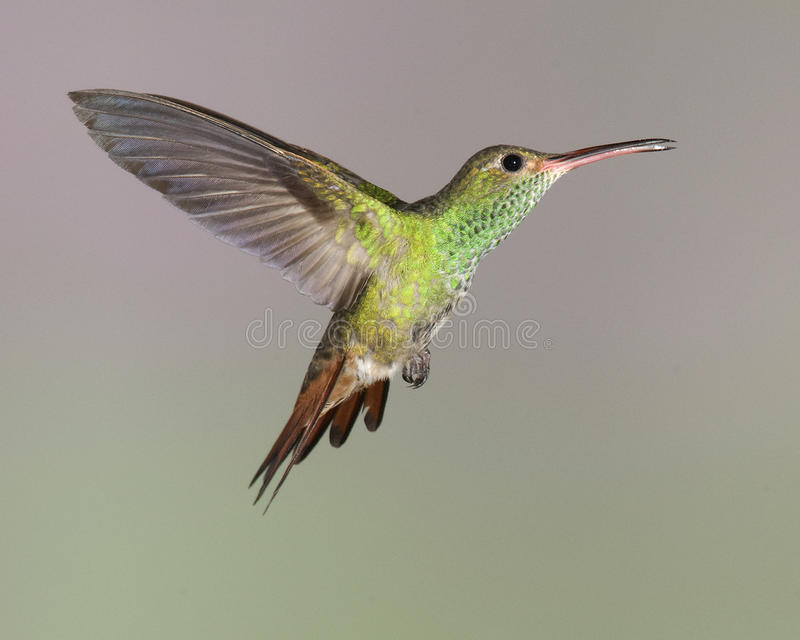 Rufous-tailed Hummingbird (Amazilia tzacatl) stock photos