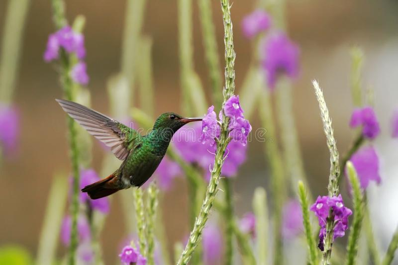 Rufous-tailed Hummingbird hovering next to violet flower in garden, bird from mountain tropical forest, Costa Rica,natural habitat. Rufous-tailed Hummingbird stock image
