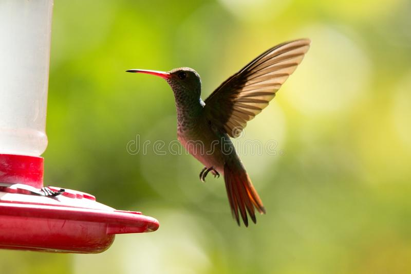 Rufous-tailed hummingbird with outstretched wings,tropical forest,Peru,bird hovering next to red feeder with sugar water, garden,. Clear background,nature scene royalty free stock images