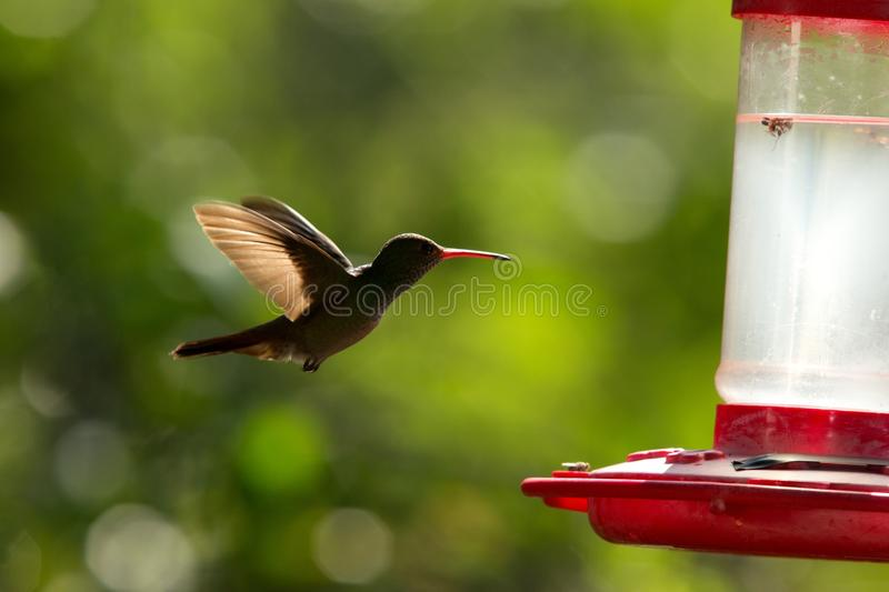 Rufous-tailed hummingbird with outstretched wings,tropical forest,Peru,bird hovering next to red feeder with sugar water, garden,c. Lear background,nature scene royalty free stock photo