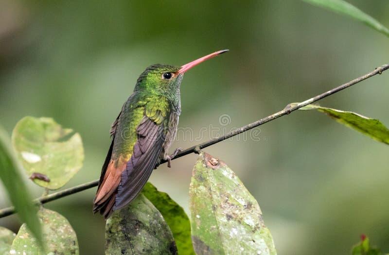 Rufous-tailed Hummingbird perching on branch,Ecuador stock photography