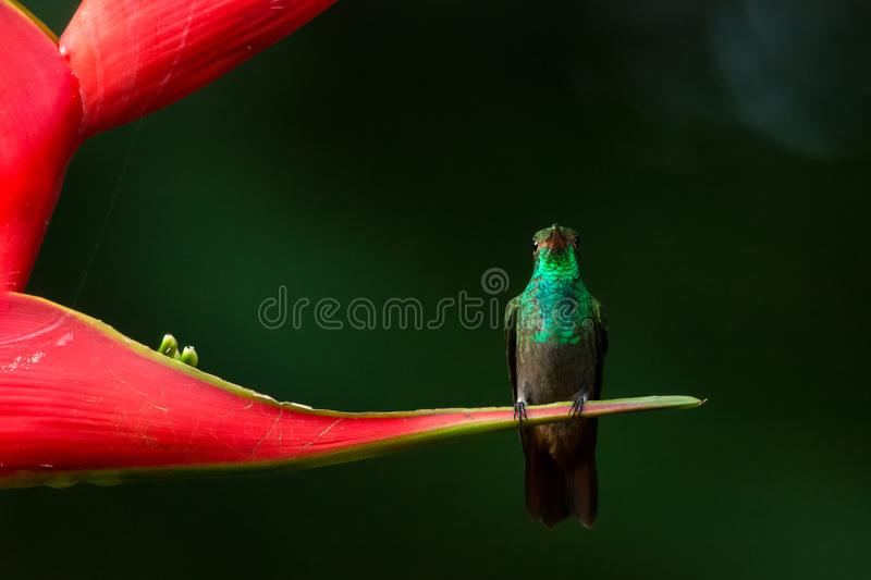 Rufous-tailed Hummingbird. Wild Rufous-tailed Hummingbird sitting on a red heliconia flower that looks like jaw with two teeth, Costa Rica