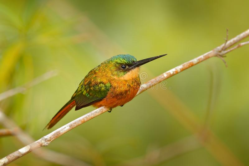 Rufous-tailed Jacamar, Galbula ruficauda, exotic bird sitting on the branch with clear green background on Trinidad and Tobago. Wi. Ldlife scene from tropic royalty free stock images